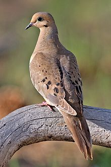 220px-Mourning_Dove_2006.jpg