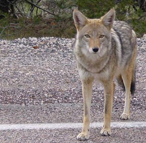 Coyote_arizona.jpg