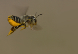 Megachile with pollen