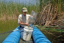 Game and Fish biologist Ross Timmons nets desert pupfish in preparation for relocation.