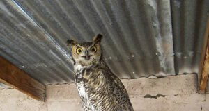 Olivia A Great Horned Owl