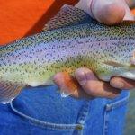Arizona Rainbow Trout