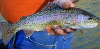 Arizona Rainbow Trout